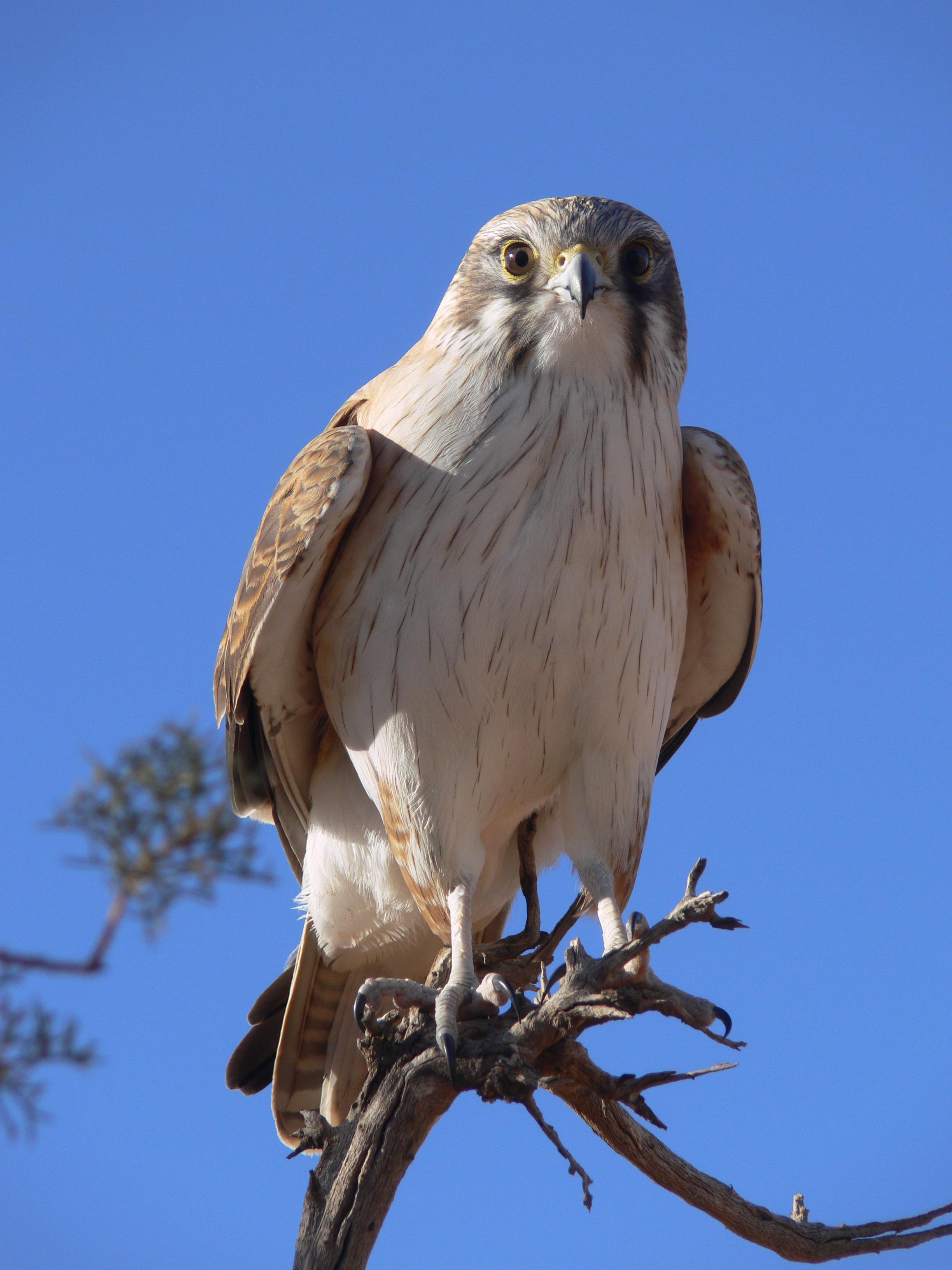 Desert Hawk Animal Walking Across the Sim...